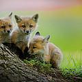 Trio Of Fox Kits by Everet Regal