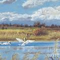 Trio Of Trumpeter Swans  by Jymme Golden