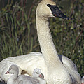 Trumpeter Swan On Nest With Chicks by Michael Quinton