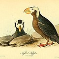 Tufted Puffins Print by John James Audubon
