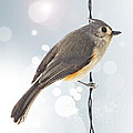 Tufted Titmouse Twinkle by Bill Tiepelman