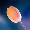 Tulip by Marcin and Dawid Witukiewicz
