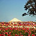 Tulip Paradise