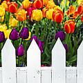 Tulips behind white fence Print by Elena Elisseeva