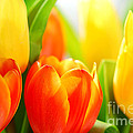 Tulips by Elena Elisseeva