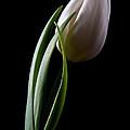 Tulips III Print by Tom Mc Nemar