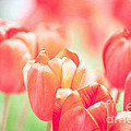Tulips In The Sun by Kay Pickens