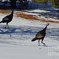 Turkey Walk by Eric Menk