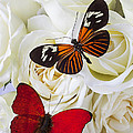 Two Butterflies On White Roses by Garry Gay