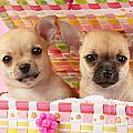 Two Chihuahuas by Greg Cuddiford