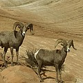 Two Male Rams At Zion by Jeff Swan