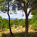 Two Pine Trees by Carlos Caetano