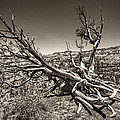 Uprooted - Bryce Canyon Sepia by Tammy Wetzel