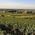 Vineyard And Village Of Pommard. Cote D'or. Route Des Grands Crus. Burgundy.france. Europe by Bernard Jaubert