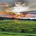 Vineyard At Sunrise Print by Steven Ainsworth