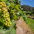Vineyard Grapes by Justin Woodhouse