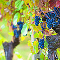 Vineyard Grapes Ready For Harvest by Susan Schmitz