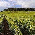 Vineyard Near Monthelie. Burgundy. France. Europe by Bernard Jaubert