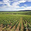 Vineyard Of Cotes De Beaune. Cote D'or. Burgundy. France. Europe by Bernard Jaubert