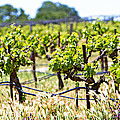Vineyard With Young Plants by Susan  Schmitz