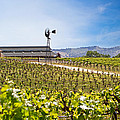 Vineyard With Young Vines by Susan  Schmitz