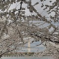Washington Monument - Cherry Blossoms - Washington Dc - 011323 by DC Photographer