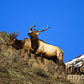 Watchful Bull by Mike  Dawson