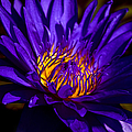Water Lily 7 by Julie Palencia