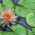 Water Lily by David Stribbling