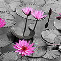 Water lily lotus flower and leaves Print by Thanapol Kuptanisakorn