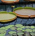 Waterlilies And Platters 2 by Byron Varvarigos