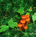 Wax Cap Fungi Print by Jeff Lepore