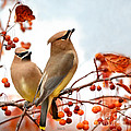 Waxwing Are Visiting