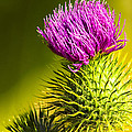 Wearing A Purple Crown - Bull Thistle by Mark E Tisdale
