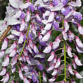 Weeping Wisteria - Spring Snow - Ice - Lavender - Flora by Andee Design