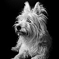 Westie by Catherine Reusch  Daley