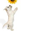 Westie Puppy And Sunflower by Natalie Kinnear