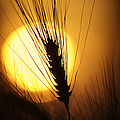 Wheat At Sunset  by Tim Gainey