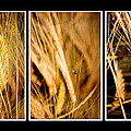 Wheat fields in seri...