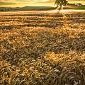 Wheat Fields Of Switzerland by Debra and Dave Vanderlaan
