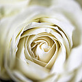Whie Rose Softly by Garry Gay
