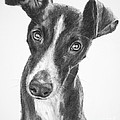 Whippet Black And White by Kate Sumners