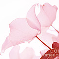 Whisper Of Pink