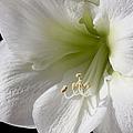 White Amaryllis Print by Adam Romanowicz