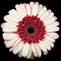 White and Red Gerbera Daisy Print by Adam Romanowicz
