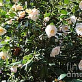 White Camellias Print by Carol Groenen