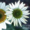 White Conehead Daisy