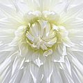White Dahlia Floral Delight by Jennie Marie Schell