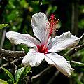 White Hibiscus by DUG Harpster