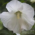 White Hibiscus Squared by Teresa Mucha